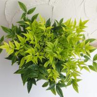 花木 庭木の苗/ナンテン(南天):レモンライム5号ポット