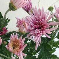 人気の食用菊「もってのほか」の花付ポットです。数ある食用菊の中でも美しい色、独特の香りと味の良さで食...