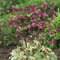 アストランティアはセリ科の多年草で、星をちりばめたように大輪の花が咲き、独特の風情があります。スター...