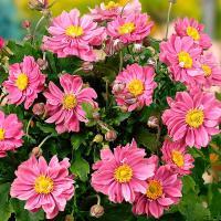 秋の花として人気のシュウメイギク。エミリーは日本で育成されたプリティレディシリーズのシュウメイギクで...