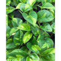 観葉植物/ポトス:グローバルグリーン3号ポット