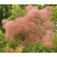 花木 庭木の苗/スモークツリー:ラブリーローズ 3号ポット