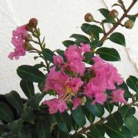 花木 庭木の苗/サルスベリ:ピンクサマー(一才サルスベリ)2.5号ポット