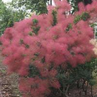 花木 庭木の苗/スモークツリー:リトルルビー3号ポット