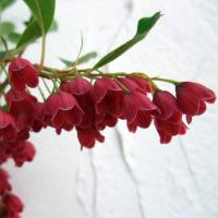 花木 庭木の苗/ドウダンツツジ:紅更紗(ベニサラサ)ドウダン4.5~5号ポット