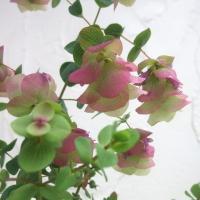 欧米の庭に植栽される、美しい花オレガノです。ホップの雌花に似た、赤みの差した苞葉が重なって房になり、...