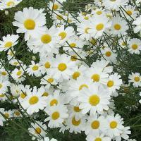 ★小さい苗となります★蚊取り線香や殺虫剤として使われるハーブ。整った美しい花姿と明るい色彩で和洋とも...