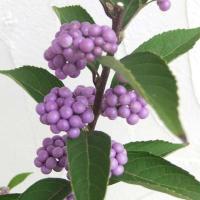 ★落葉状態でのお届けです★ムラサキシキブは紫の実の色鮮やかな美しさを、平安の美女、紫式部にたとえられ...