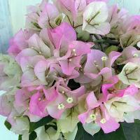 人気のブーゲンビレア。ブライダルピンクは、淡いピンク色の人気品種です。蕾のうちは白色で、先端の方から...