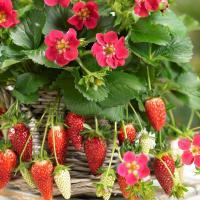 春はもちろん、夏〜秋まで収穫できるいちごです。自然に実がなりやすいのもポイント。春植えは初夏〜秋まで...