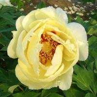 島根県で作出された日本初の大輪の黄花牡丹でアメリカの品種「ハイヌーン」と「新扶桑」(白)を交配品種で...