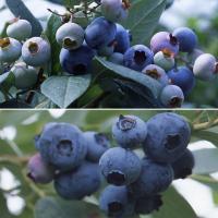 群馬県園芸試験場が開発したハイブッシュ系ブルーベリー2品種のセットです。ハイブッシュ系ですが、暑さに...