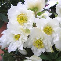 ニゲルの八重咲き品種です。コンパクトな草姿に純白の花で気品高い雰囲気を持ち、1年ですばらしい株に成長...