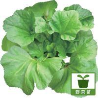 オカノリは日本でも古くから親しまれている「冬葵(フユアオイ)」の変種とされ、葉は写真のように5方に広...