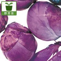 人気の小さなキャベツシリーズ。珍しいパープル種。日本ではまだ珍しい紫の品種です。キャベツの仲間で茎が...