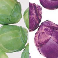 人気の小さなキャベツシリーズ。色つやも良く強健種。キャベツの仲間で茎が太く伸び、葉柄の付け根に小さな...