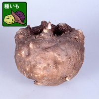 こんにゃくの種芋です。種芋として植えつけることもできますが、この芋からこんにゃくを作ることもできます...