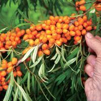 果樹の苗/20年4月中下旬予約 シーベリー(沙棘・サジー):雌雄セット3号ポット