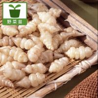 おせち料理の縁起物として利用されるチョロギ。くるりとまいた形の根を食用にします。最近では脳梗塞やボケ...