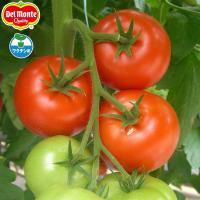 日本デルモンテ(株)育成のトマトの人気大玉品種。濃厚な甘味となめらかな果肉。お店でも大人気のぜいたく...