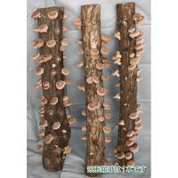 栽培が簡単なのに、味は本格的!風味豊かな原木シイタケが栽培できる、画期的なホダキング。「ホダキング」...