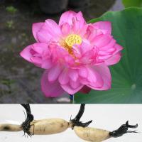 食用レンコンを育てる蓮苗です。大型種でお花も楽しめます。大きめの容器を使って栽培すれば、ご家庭でも新...