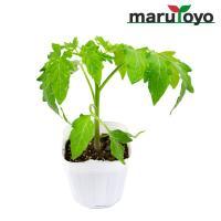家庭菜園用「桃太郎」トマトの代表品種。 生育後半まで草勢が持続し作りやすく、食味もよいのが特徴。 夏...