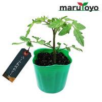 外皮も中身も美しいエメラルドグリーン色の、細長い形のミニトマトです。 果重約20〜30g、長さ約3〜...