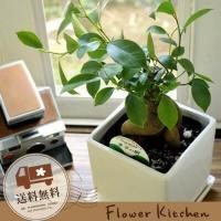 観葉植物 ガジュマル 5号 四角陶器鉢 即日発送 グリーンギフト