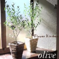 観葉植物 オリーブの木 6号 Mサイズ 即日発送のグリーンギフト