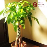 パキラ 観葉植物 パキラ の鉢植えM 7号鉢 即日発送のグリーン ギフト 引っ越し祝い 新築祝い お祝い