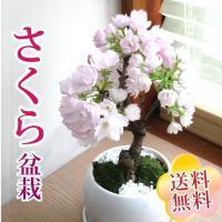 ◆期間限定お買い得◆ 2月21日まで20%OFF 3980円→3184円  ※開花時期は、3月〜4月...
