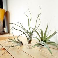 エアプランツ アソート3個セット(Mサイズ)/ 観葉植物 チランジア エアープランツ