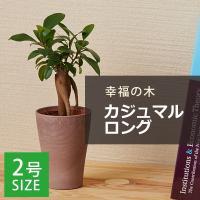 """【特徴】 """"インド・東南アジア・沖縄原産。 自生地では樹高20mにもなる高木です。 「多幸の木」とし..."""