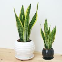 観葉植物 サンスベリア(サンセベリア) おしゃれ お祝い ボール型陶器鉢