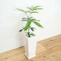 観葉植物 エバーフレッシュ(ネムノキ) スクエア陶器鉢植え