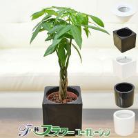 ミニ観葉植物 編み込みパキラ ハイドロカルチャースタイリッシュ陶器鉢付き
