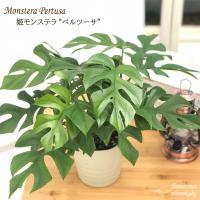 姫モンステラ ヒメモンステラ ペルツーサ 5号鉢 送料無料 観葉植物 インテリア おしゃれ