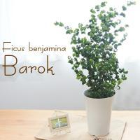 フィカス ベンジャミン バロック 6号鉢 送料無料 観葉植物 インテリア おしゃれ