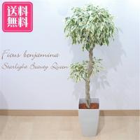 送料無料 ベンジャミン スターライト ビューティークイーン フィカス 6号鉢 観葉植物 インテリア
