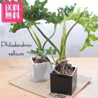 送料無料 フィロデンドロン セローム 5号 スクエア陶器鉢 観葉植物 インテリア