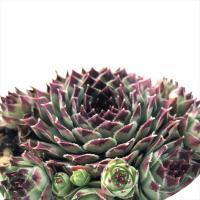 多肉植物 shセンペルビウム ミントマーブル 多肉植物 センペルビウム 9cmポット