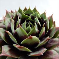 多肉植物 shセンペルビウム クランベリーカクテル 多肉植物 センペルビウム 9cmポット