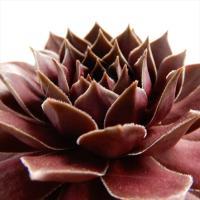 多肉植物 shセンペルビウム チョコレートキス 多肉植物 センペルビウム 9cmポット