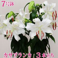 【商品について】 ・送料無料!数量限定!期間限定! ・純白の大輪の花を咲かせ「ユリの女王」と言われ、...