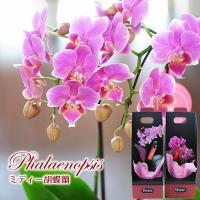 ミディ胡蝶蘭 2本立ち ピンクについて ・小輪 胡蝶蘭 椎名洋ラン園のミディー胡蝶蘭です。 ・育て方...
