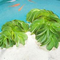 【特徴】 熱滞アメリカ原産のシダ植物の一種です。 水に浮かべておくだけで成長する、初心者にもオススメ...