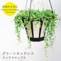 吊るすのにオススメ! 観葉植物 グリーンネックレス ティアドロップス 5号 送料無料 ハンギングスタイル メッセージカード付き
