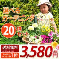 色とりどり!季節の花壇、プランターを飾るのに最適!寄せ植えにもOK!この時期だけの限定商品!<...