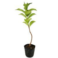 ハコネウツギ 0.2m10.5cmポット 1本 1年間枯れ保証 春に花が咲く木